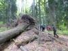 Riesenbuchen im Urwald